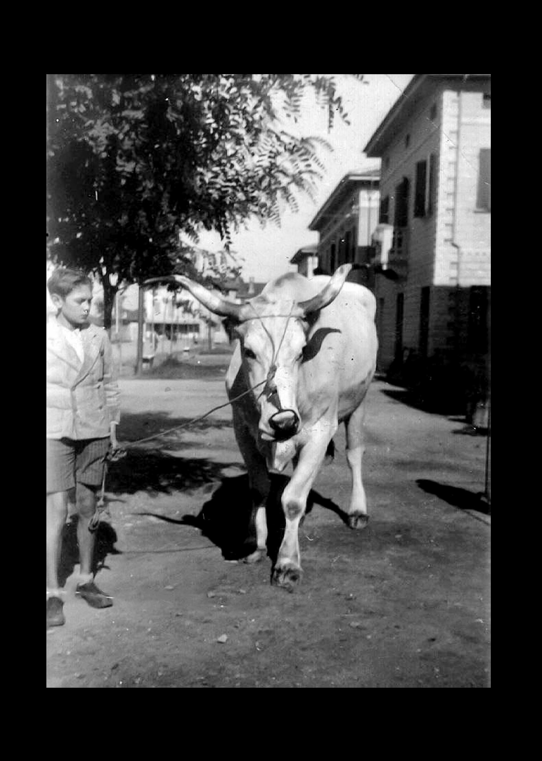 Luciano Govoni e mucca.