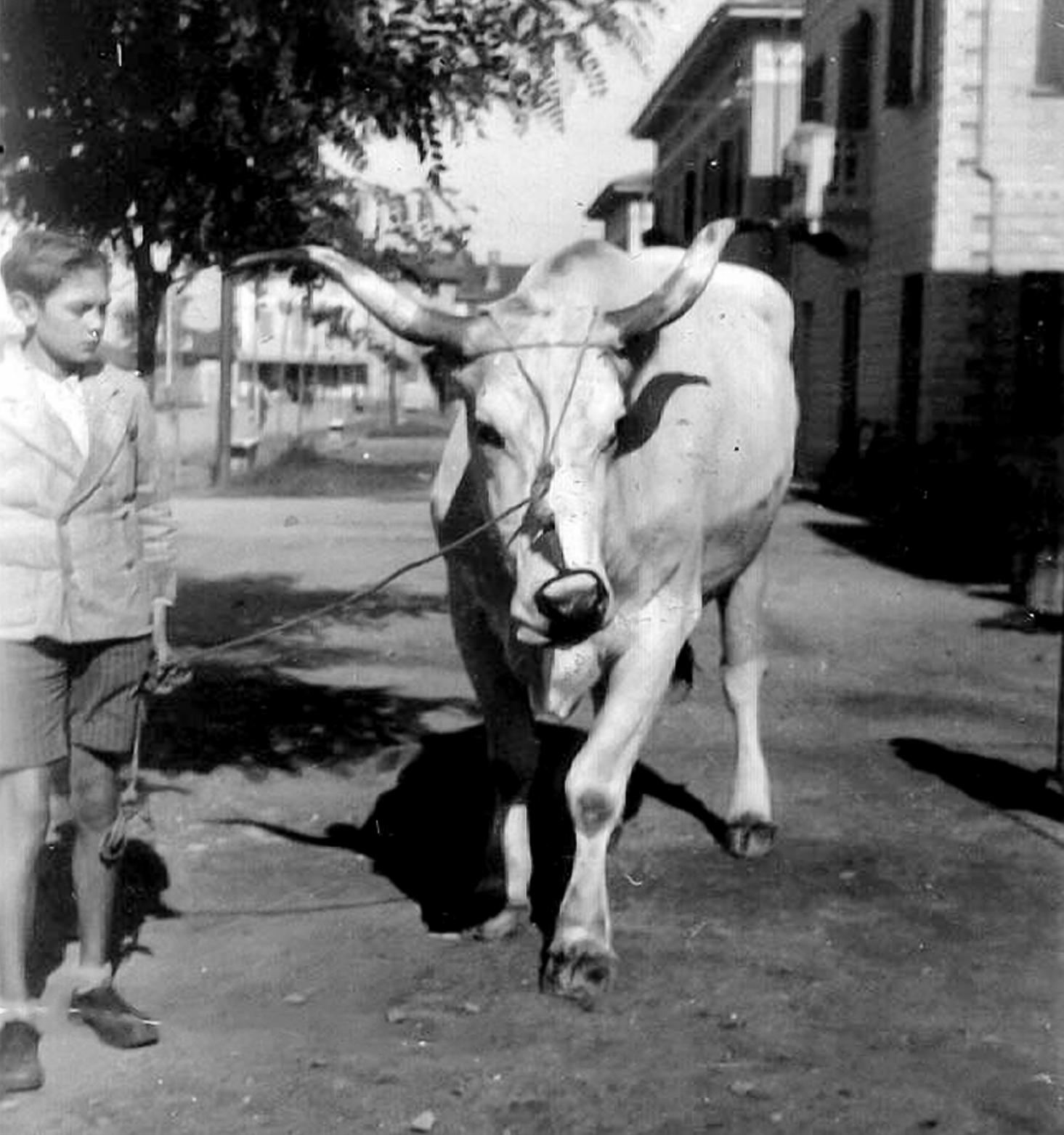 Luciano Govoni e mucca