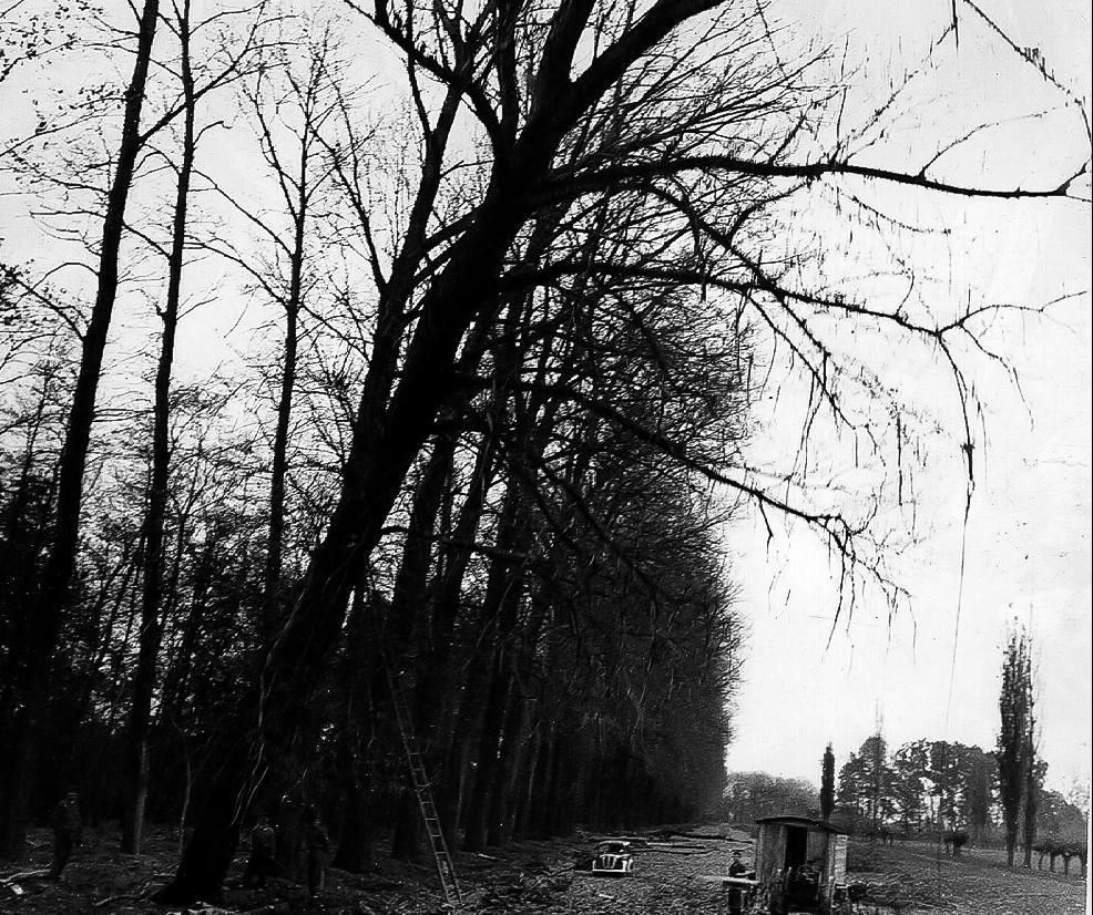 Taglio di alberi per segheria